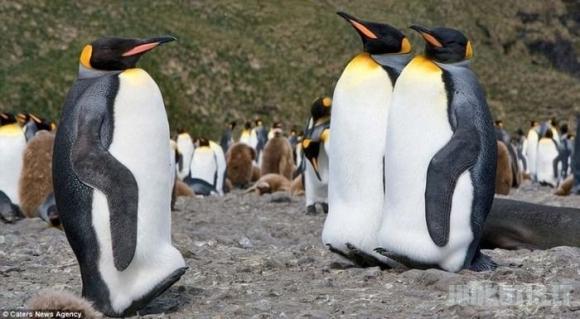 200 000 pingvinų
