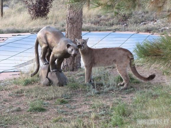 Puma atėjo į svečius pas katiną