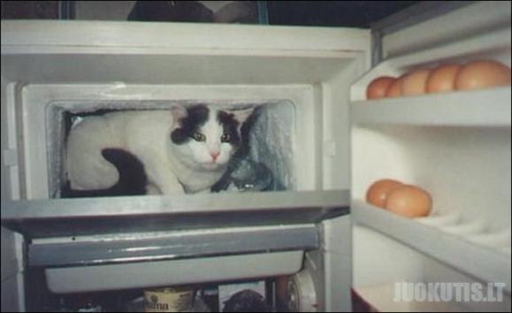 Katė šaldytuve