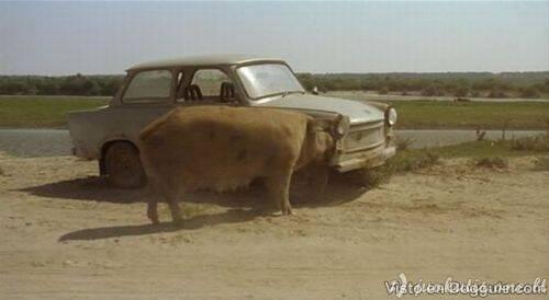 Kiaulė suėdė automobilį
