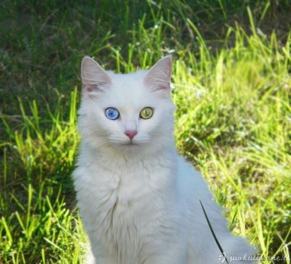 Skirtingos spalvos akys
