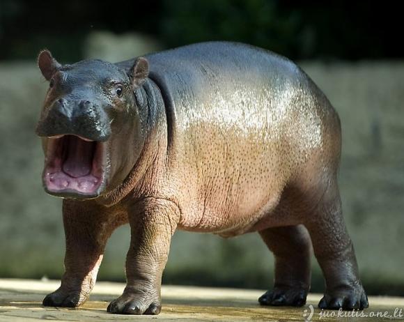 Hipopotamo mažylis Berlyno zoo