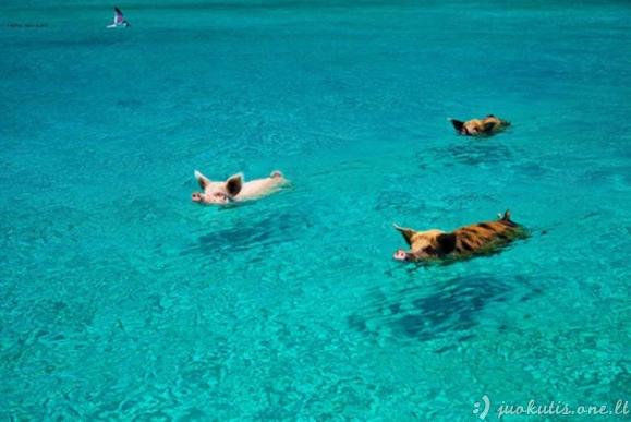 Kiaulės atostogauja