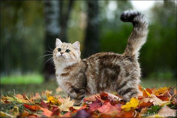 Rudeniškas katinėlis