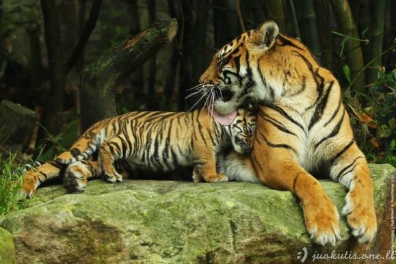 Tigrė su vaikais zoologijos sode