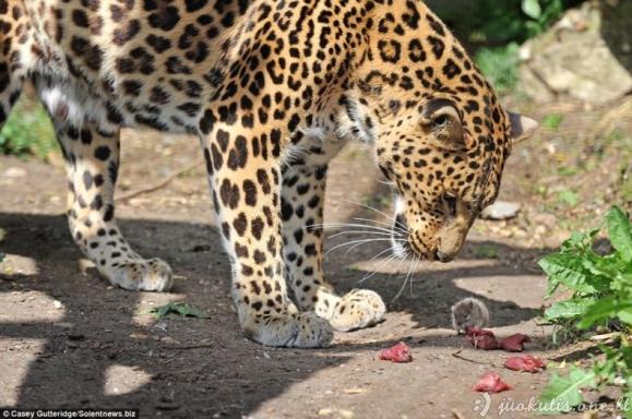 Apiplėšė leopardą