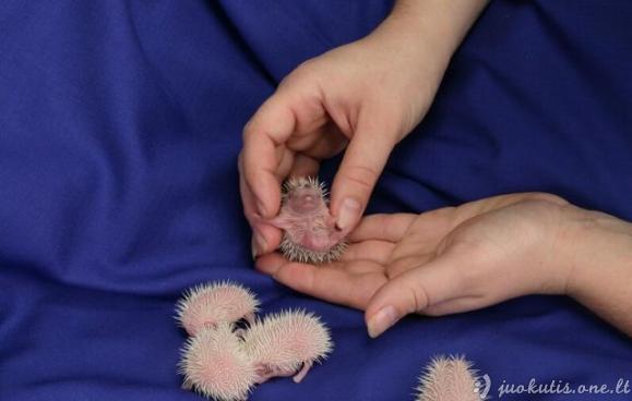 Ką tik gimę mažyliai ežiukai