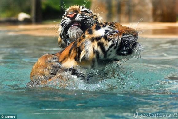 Tigrai vandenyje