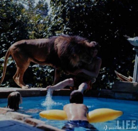 Naminis liūtas