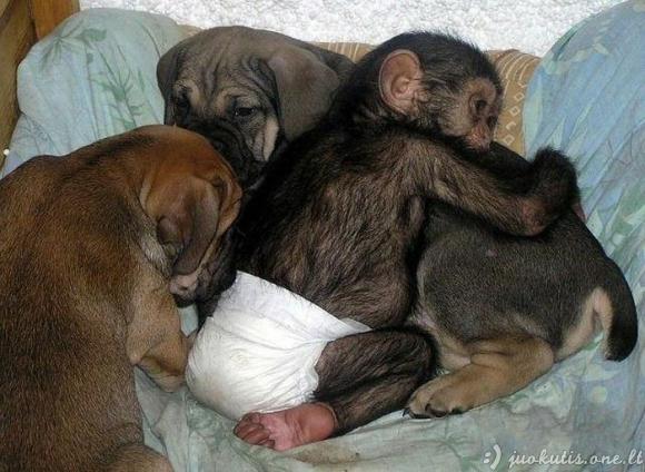 Mastifas įsivaikino šimpanzę