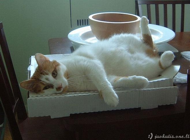 Katės ir picos dėžės