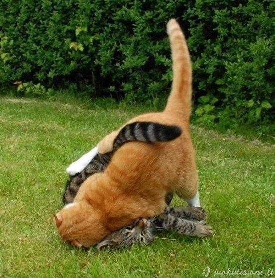 Kung-Fu katės