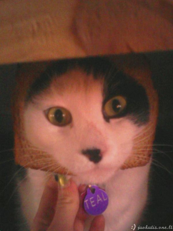 Duonuotos katės