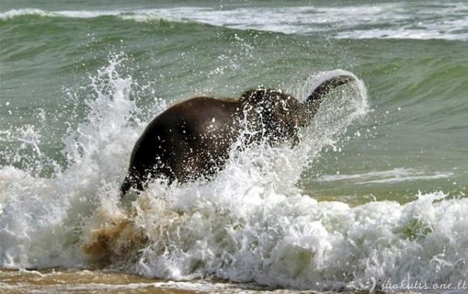 Labai laimingas drambliukas