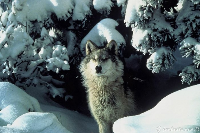 Gražūs vilkų paveikliukai
