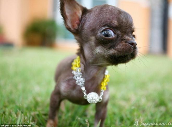 Mažiausias šuniukas pasaulyje