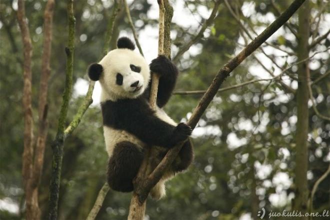 Nerealios pandos