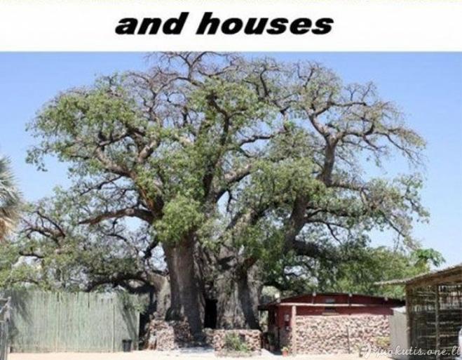 Nuostabūs baobabai