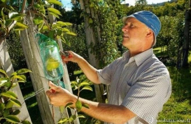 Kaip vaisiai patenka į butelius