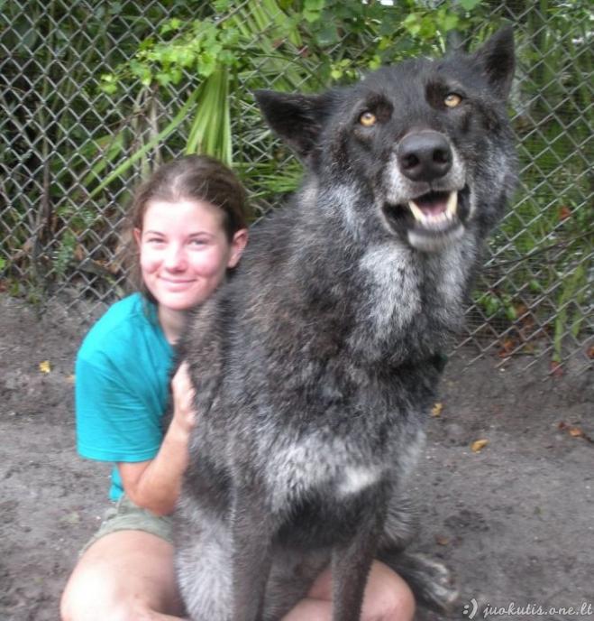 Draugiškas vilkas Yuki