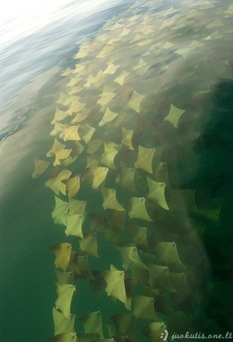 Rajožuvių migracija