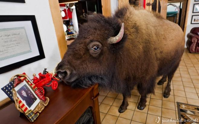 Namuose gyvenantys bizonai