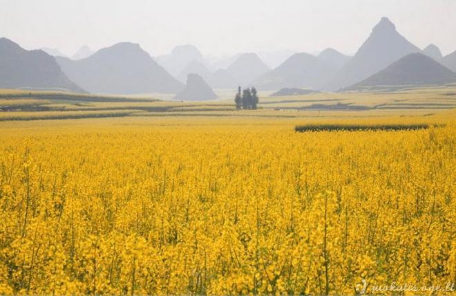 Kinijoje žydi rapsų laukai