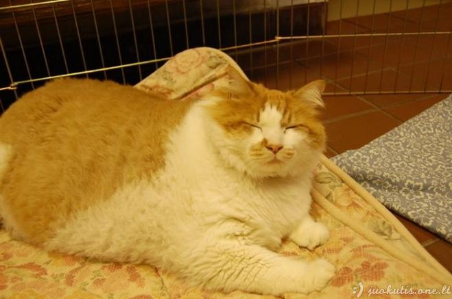 Storulis katinas Garfildas