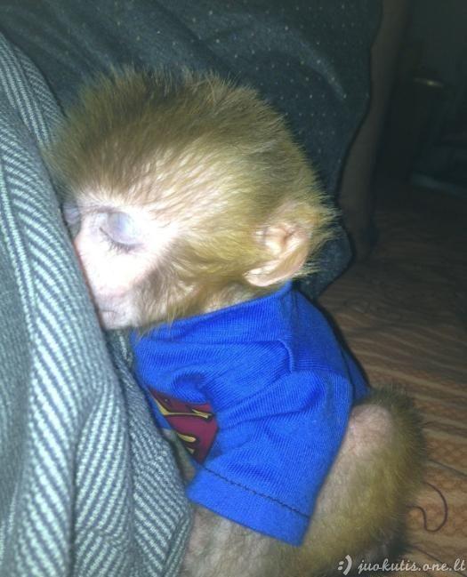 Naminė beždžionėlė