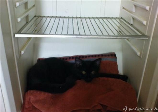 Katės šaldytuvuose