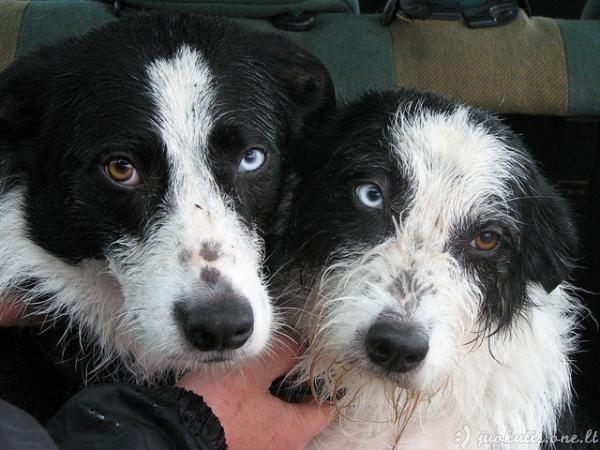 Šunys su heterochromija