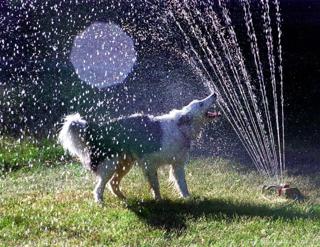 Laimingos grumtynės: šunys prieš vandens purslus