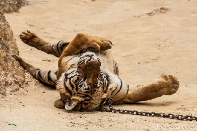 Vienuolynas tigrams