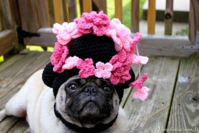 Fainutis mopsas su mielomis kepurėlėmis