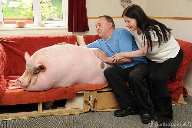 Nusipirko mini kiaulę, o užaugo...