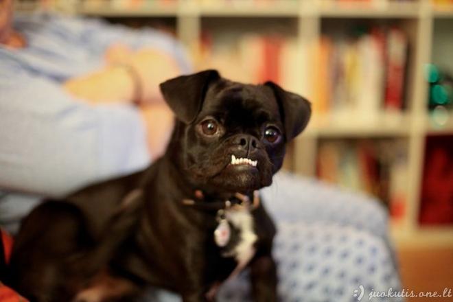 Netaisyklingas sąkandis pas šunis