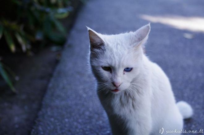 Katės su skirtingų spalvų akimis