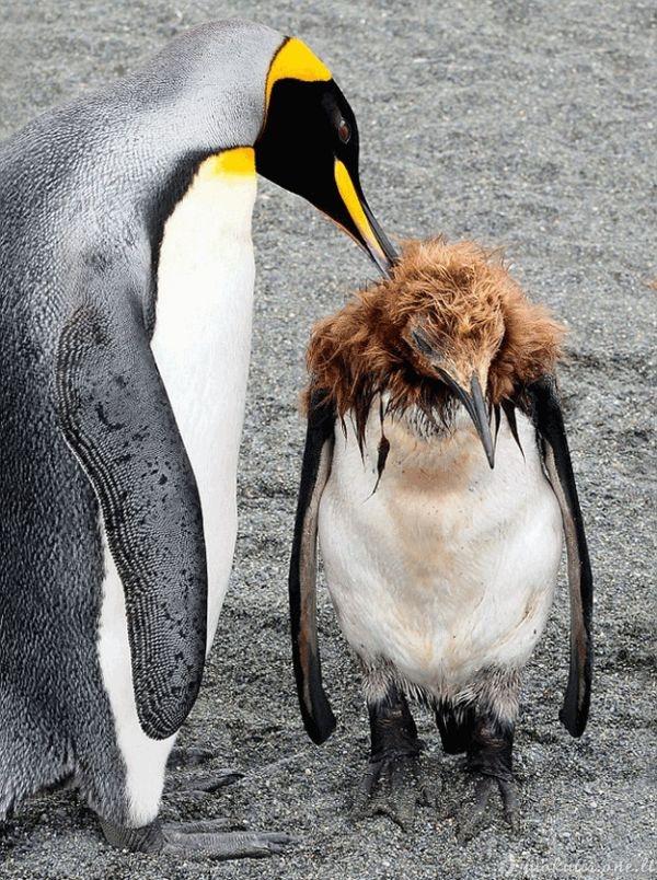 Pingvino paauglystė