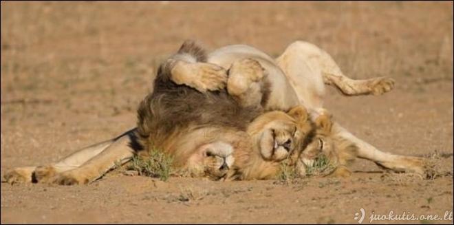 Trys liūtai išėjo iš baro
