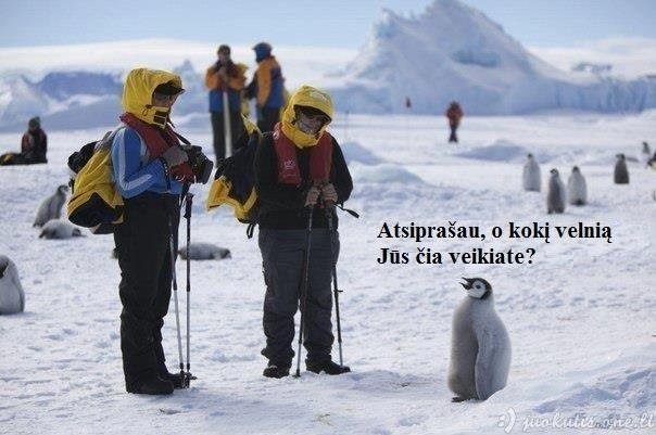 Pingvino nuostaba