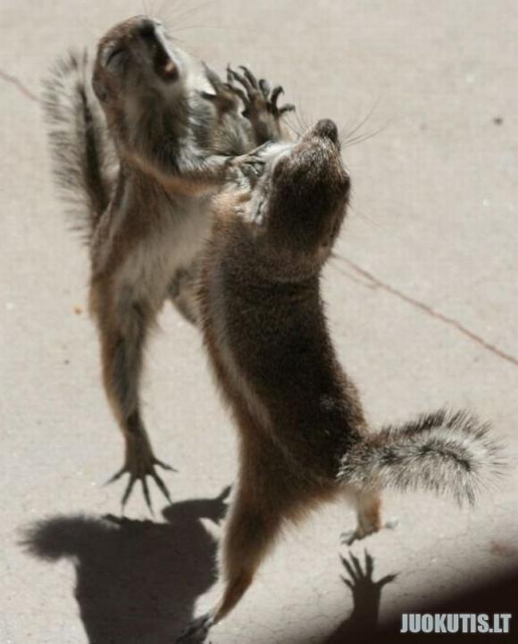Voverių drakės