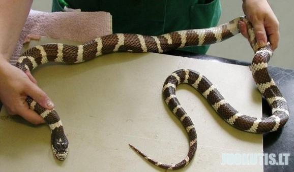 Durna gyvatė