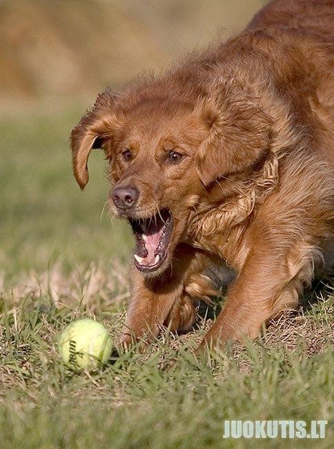 Šuo + kamuoliukas