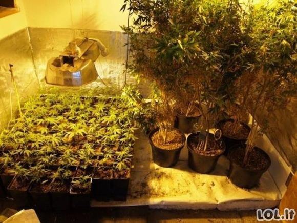 Kanapių plantacija namuose