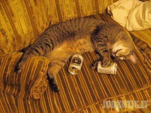 Katės girtuoklės