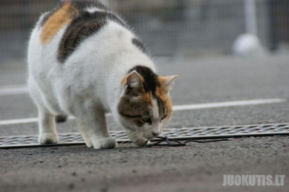 Sportiniai katinai