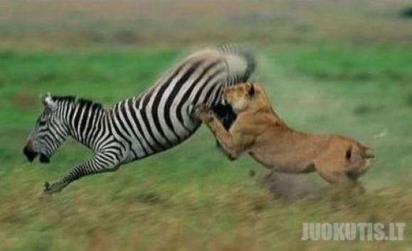 Zebros priešinasi