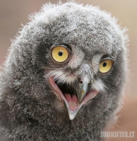 Pelėdos - labai juokingi paukščiai