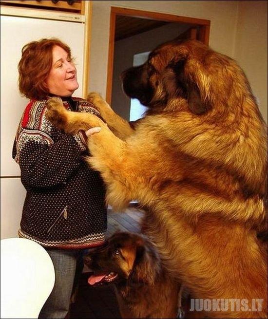 Labai dideli šunys