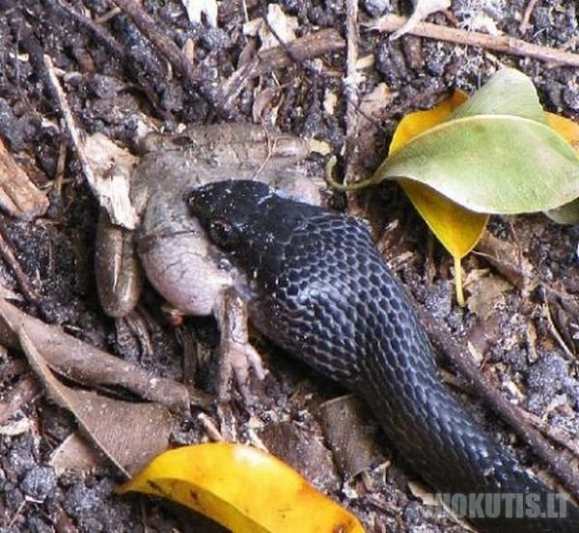 Varlė Vs gyvatė